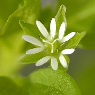 Chickweed, Common
