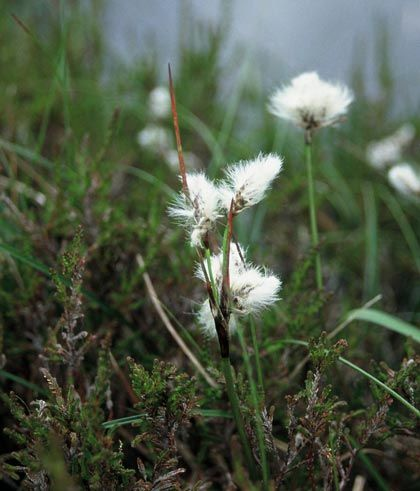 Cottongrass, Common