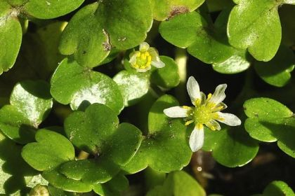 Crowfoot, Ivy-leaved