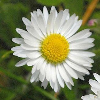 Wildflower Daisy Irish Wild Flora Wildflowers of Ireland