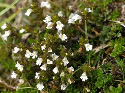 Eyebright, Irish