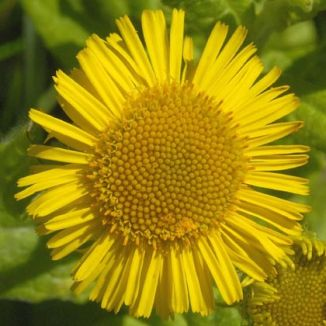 Fleabane, Common