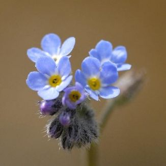 Forget-me-not, Field