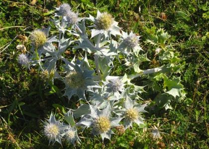 Sea-holly