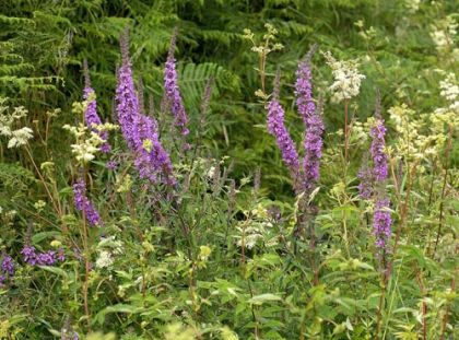 Purple-loosestrife