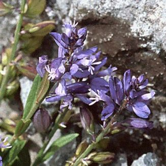Milkwort, Common