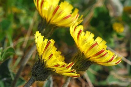 Hawkweed, Mouse-ear
