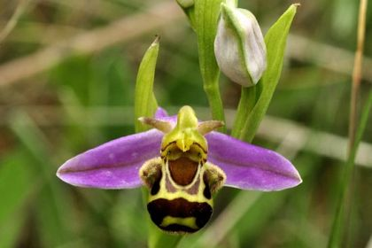 Orchid, Bee