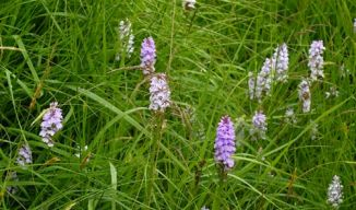 Spotted-orchid, Heath