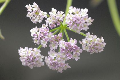 Hedge-parsley, Upright