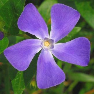 Periwinkle, Greater