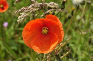 Poppy, Common