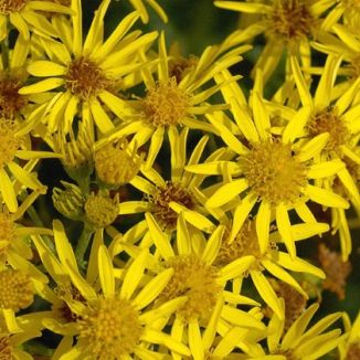 Ragwort, Common