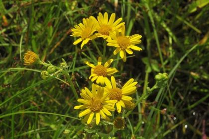 Ragwort, Marsh