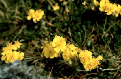 Rock-rose, Hoary