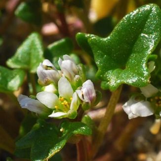 Scurvygrass, Danish