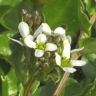 Scurvygrass, Common