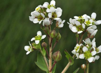Scurvygrass, English