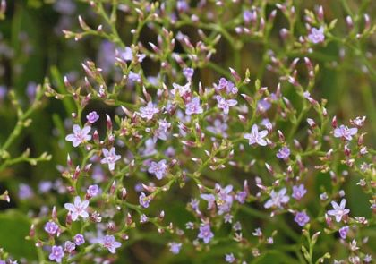 Sea-lavender, Lax-flowered