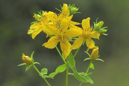 St John's-wort, Perforate