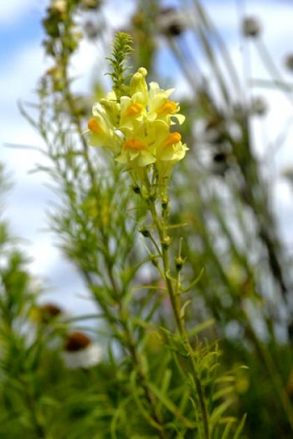 Toadflax, Common