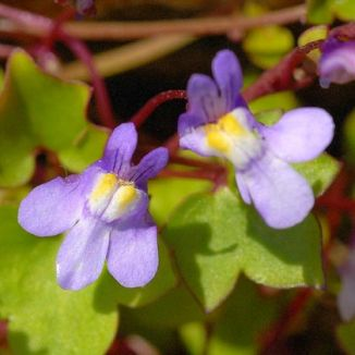 Toadflax, Ivy-leaved