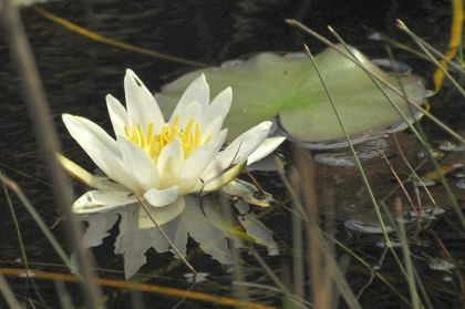 Water-lily, White