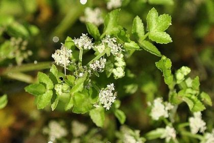 Fool's-water-cress