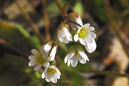 Whitlowgrass, Common