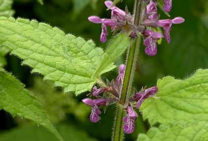 Woundwort, Hedge