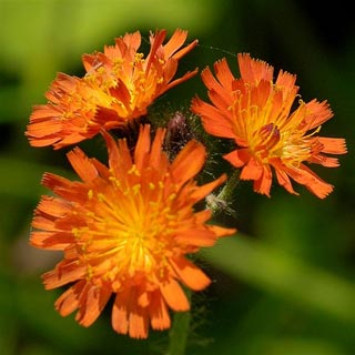 Fox-and-cubs